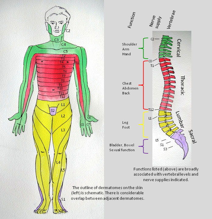 Spinal Cord Dermatome Image | Inspire Foundation