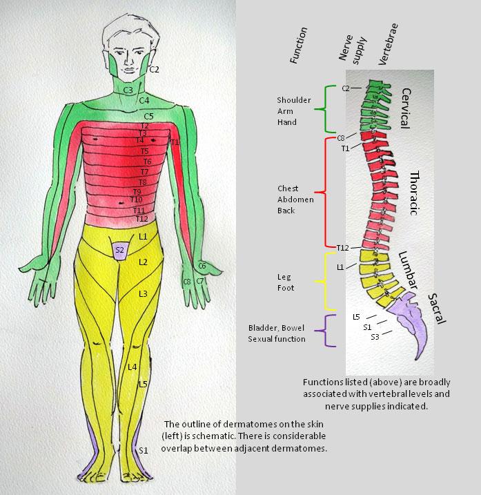Spinal Cord Dermatome Image
